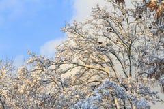 покрытые Снег акация и птицы на ветвях Стоковые Фото