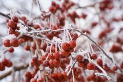покрытые Снег группы диких яблок на ветвях яблони стоковые изображения