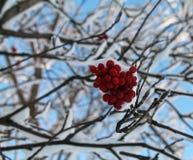 покрытые Снег красные ягоды в ветвях ледистого дерева Стоковое Фото
