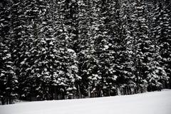 покрытые Снег сосны Стоковые Фото