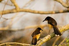 Покрытые чернотой пары Глумить-молочницы беседуя Стоковая Фотография