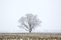 покрытый вал снежка дуба поля Стоковое фото RF