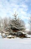 покрытый вал снежка ели Стоковое Изображение