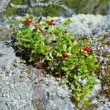 покрытый камень лишайника cowberry Стоковые Фотографии RF
