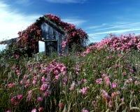 покрытый сарай розы Стоковое Изображение