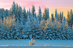покрытый Снег лес зимы загоренный солнцем утра Стоковое фото RF