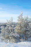 Покрытый снег сосен Стоковые Фото