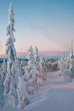 покрытый Снег спрус на заходе солнца Стоковые Изображения RF