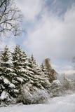 покрытый снежок елей Стоковое Фото