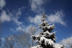 покрытый снежок ели Стоковая Фотография