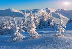 покрытый снежок елей Стоковые Изображения RF