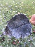 покрытый снежок листьев Стоковая Фотография RF