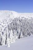 покрытый снежок сосенки пущи Стоковое Фото