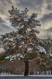 покрытый снежок сосенки стоковая фотография