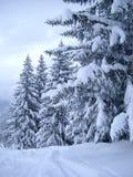 покрытый снежок сосенок Стоковое Изображение