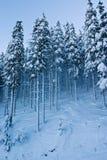 покрытый спрус снежка пущи стоковое фото rf