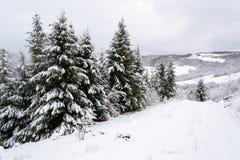 покрытый спрус снежка Стоковые Фотографии RF