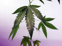 Покрытый цветень лист конопли Стоковая Фотография RF