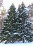 2 покрытых снег дерева Стоковое Изображение