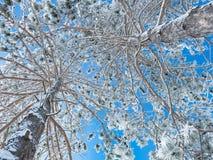 2 покрытых снег сосны - взгляд снизу Стоковые Фотографии RF