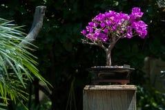 Полдень дерева бонзаев бугинвилии стоковые фото