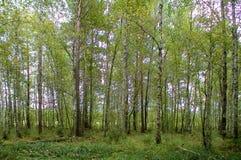 Полдень лиственного леса лета зеленый стоковые изображения