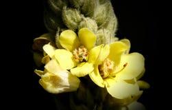 Полевой цветок 01 Минесоты Стоковое Изображение RF