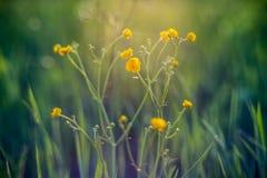 полевые цветки в желтом цвете лета зацветая Стоковое Фото