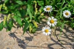 Полевые цветки крупного плана стоцвета Стоковое Фото