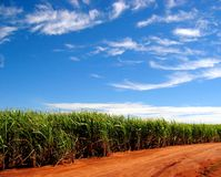 полей сахарный тростник навсегда Стоковая Фотография RF
