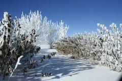 поленика кленов заморозка bushes Стоковые Изображения