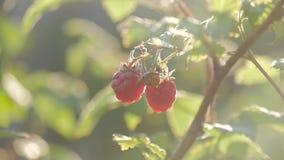 Поленика на ветви в саде Большие сочные зрелые поленики на ветвях, солнечном летнем дне Закройте вверх по взгляду зрелого красног видеоматериал