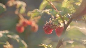 Поленика на ветви в саде Большие сочные зрелые поленики на ветвях, солнечном летнем дне Закройте вверх по взгляду зрелого красног акции видеоматериалы