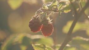 Поленика на ветви в саде Большие сочные зрелые поленики на ветвях, солнечном летнем дне Закройте вверх по взгляду зрелого красног сток-видео