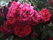 Поленика подняла в период свой самый красивый цвести стоковые фото