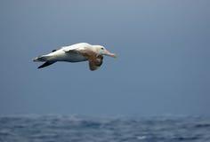 полет альбатроса бродяжничая стоковое изображение