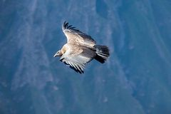 Полет кондора Стоковая Фотография