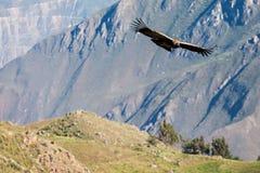 Полет кондора Стоковые Изображения