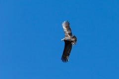 Полет кондора Стоковое Изображение RF