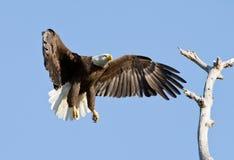 полет облыселого орла Стоковая Фотография
