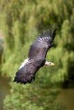 полет облыселого орла Стоковые Изображения RF