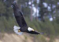 полет орла Стоковое Изображение