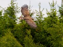 полет орла Стоковое Изображение RF