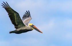 Полет пеликана Брайна в гавань безопасности Стоковые Фото