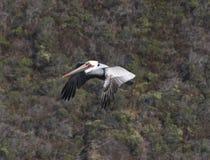 Полет пеликана, пляжа утеса козы, Калифорнии Стоковое Фото