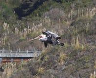 Полет пеликана, пляжа утеса козы, Калифорнии Стоковая Фотография RF