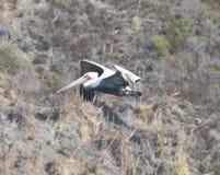 Полет пеликана, пляжа утеса козы, Калифорнии 2 Стоковая Фотография