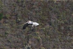 Полет пеликана, пляжа утеса козы, Калифорнии 4 Стоковое Изображение