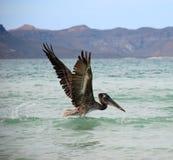 полет поднимая пеликан стоковые изображения rf