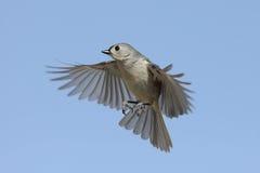 полет птицы Стоковые Фотографии RF